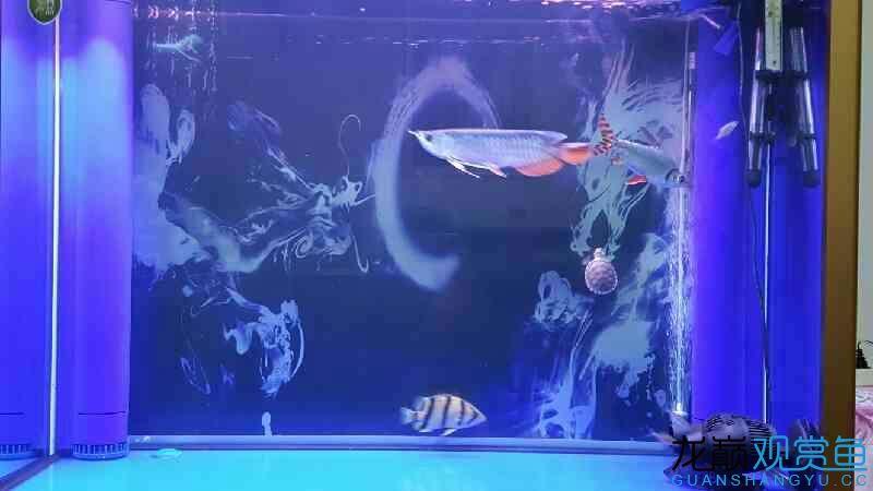 西安巴西龟蜕皮图片换了混养的鱼了哈哈 西安龙鱼论坛