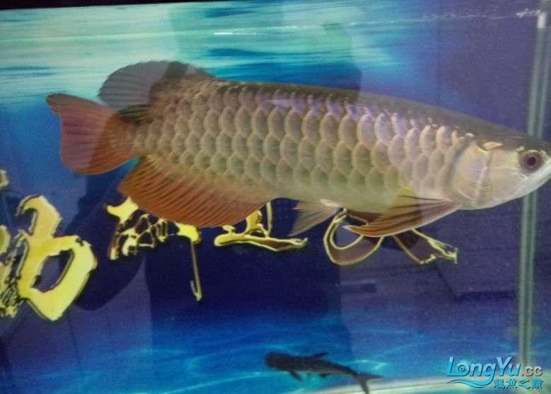 搞了个12670的龙缸够牢固的 西安观赏鱼信息 西安博特第16张