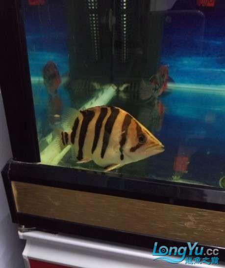 搞了个12670的龙缸够牢固的 西安观赏鱼信息 西安博特第18张
