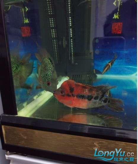 搞了个12670的龙缸够牢固的 西安观赏鱼信息 西安博特第17张