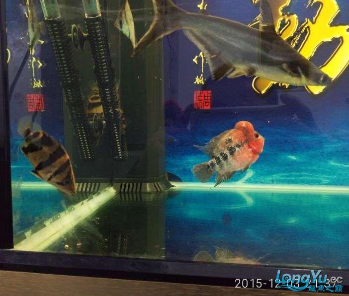 搞了个12670的龙缸够牢固的 西安观赏鱼信息 西安博特第19张
