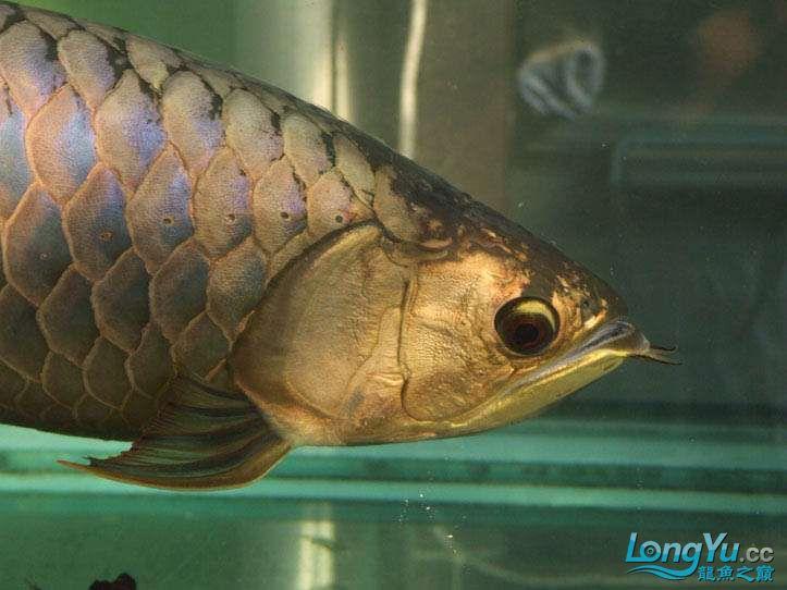 这货壮实呀 西安观赏鱼信息 西安博特第1张