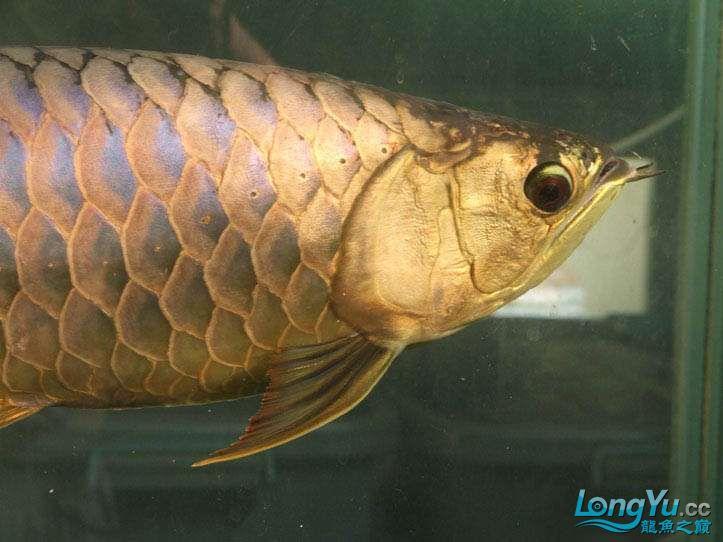 这货壮实呀 西安观赏鱼信息 西安博特第3张
