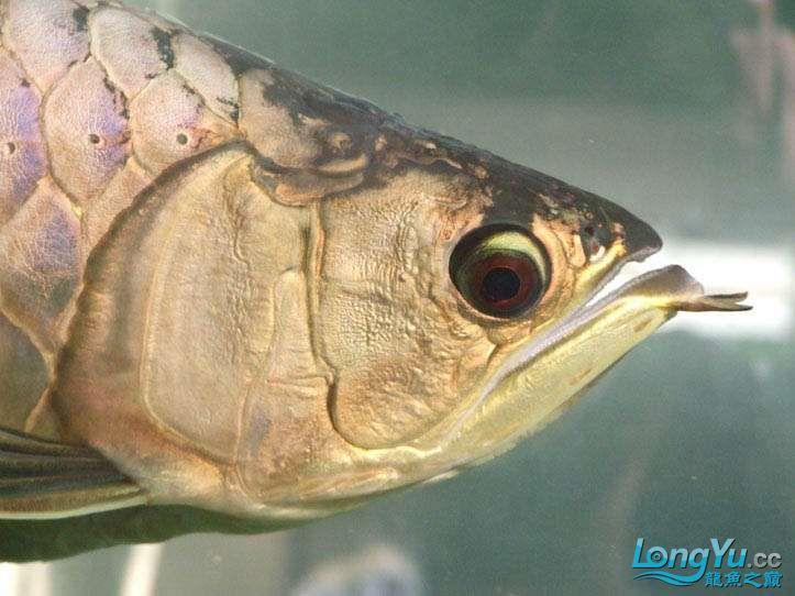 这货壮实呀 西安观赏鱼信息 西安博特第4张