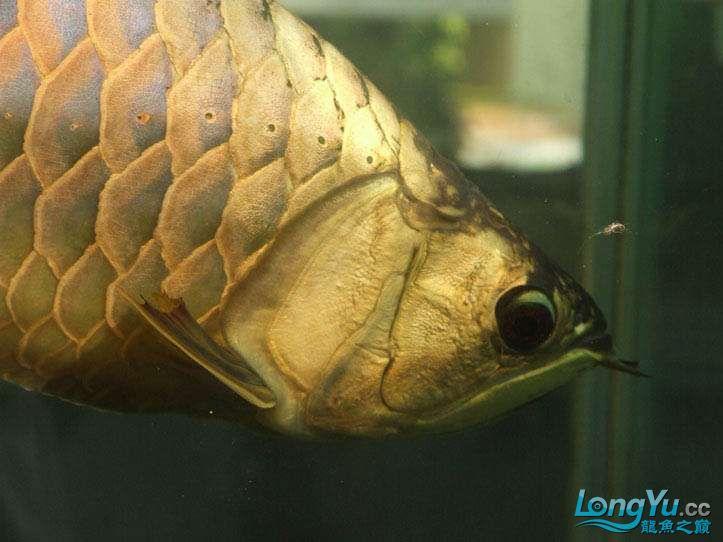 这货壮实呀 西安观赏鱼信息 西安博特第6张
