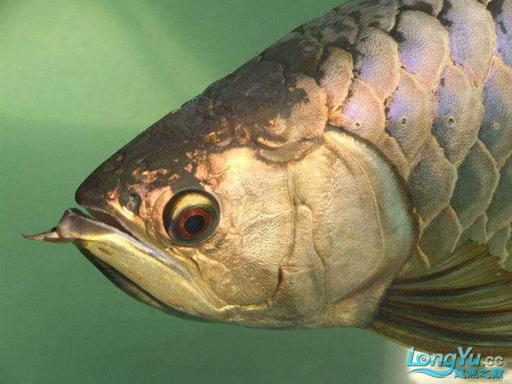 这货壮实呀 西安观赏鱼信息 西安博特第5张
