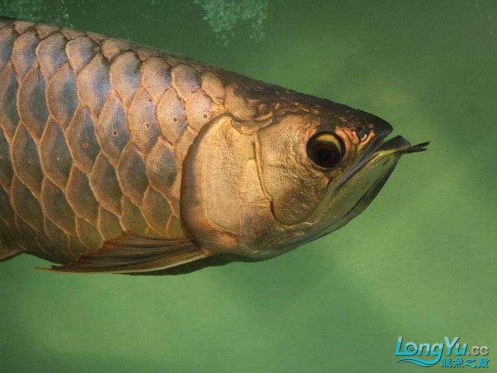 这货壮实呀 西安观赏鱼信息 西安博特第8张