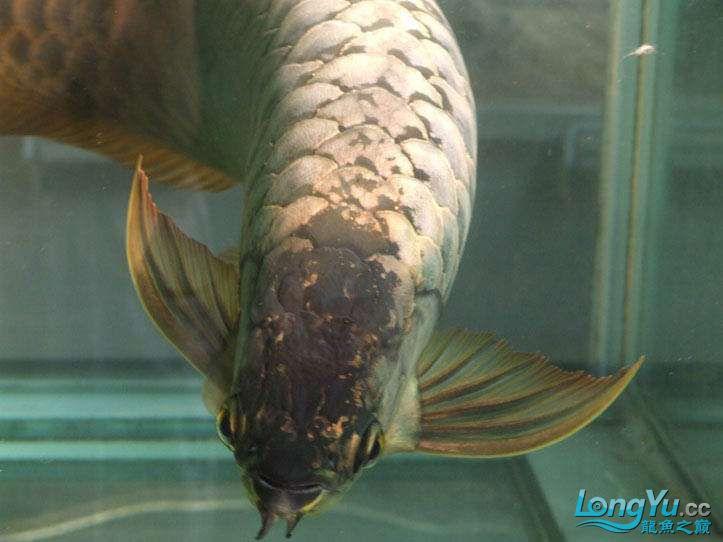 这货壮实呀 西安观赏鱼信息 西安博特第7张