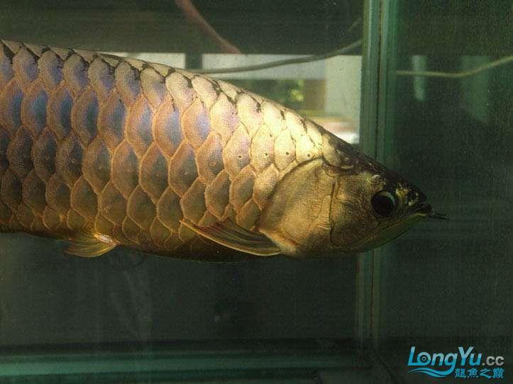 这货壮实呀 西安观赏鱼信息 西安博特第12张