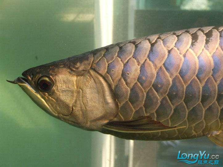 这货壮实呀 西安观赏鱼信息 西安博特第10张