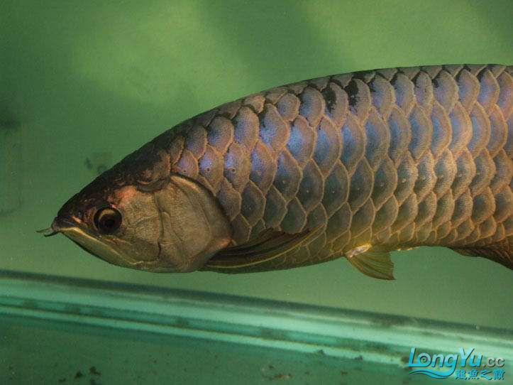 这货壮实呀 西安观赏鱼信息 西安博特第13张
