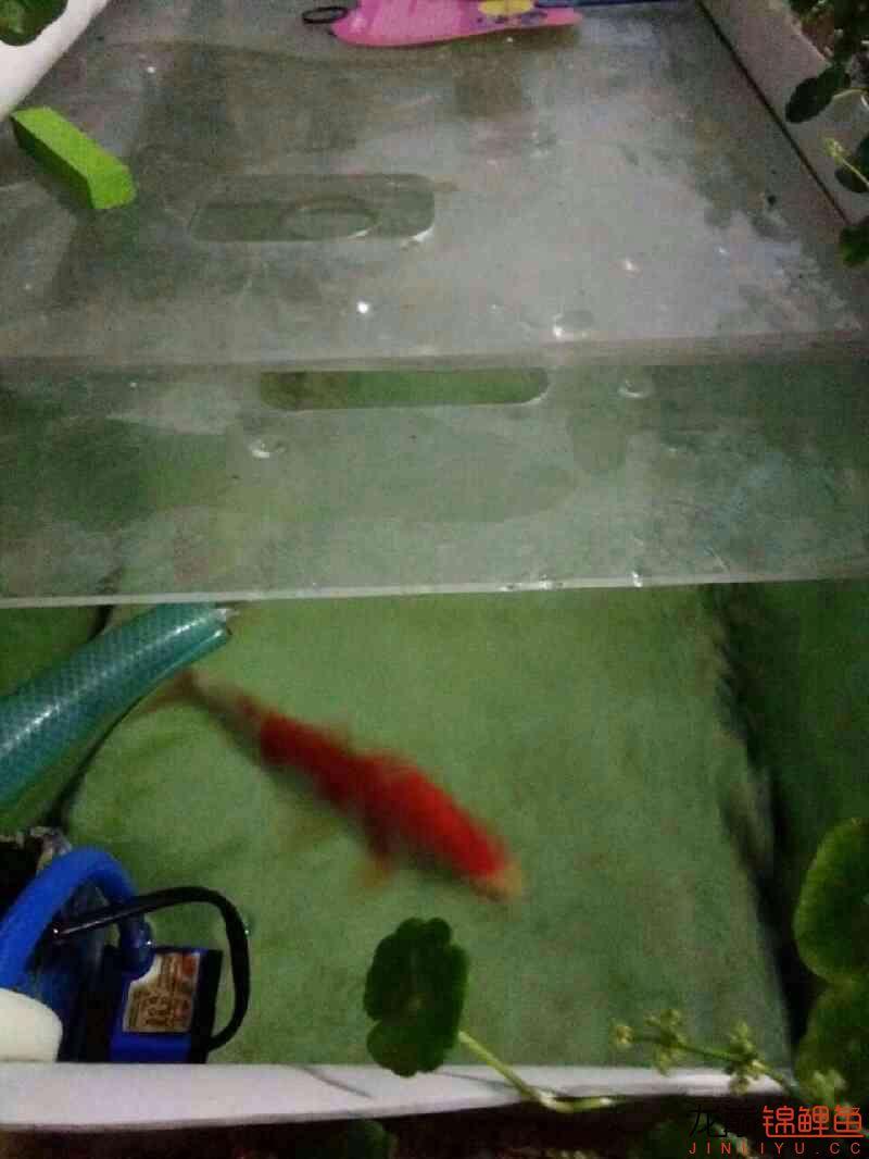 龙巅锦鲤鱼4周年庆+植物水道完工 西安观赏鱼信息 西安博特第2张
