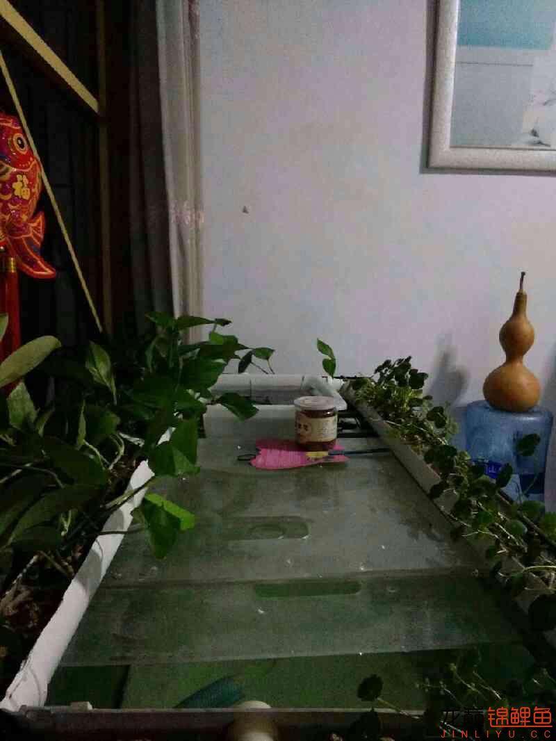 龙巅锦鲤鱼4周年庆+植物水道完工 西安观赏鱼信息 西安博特第1张