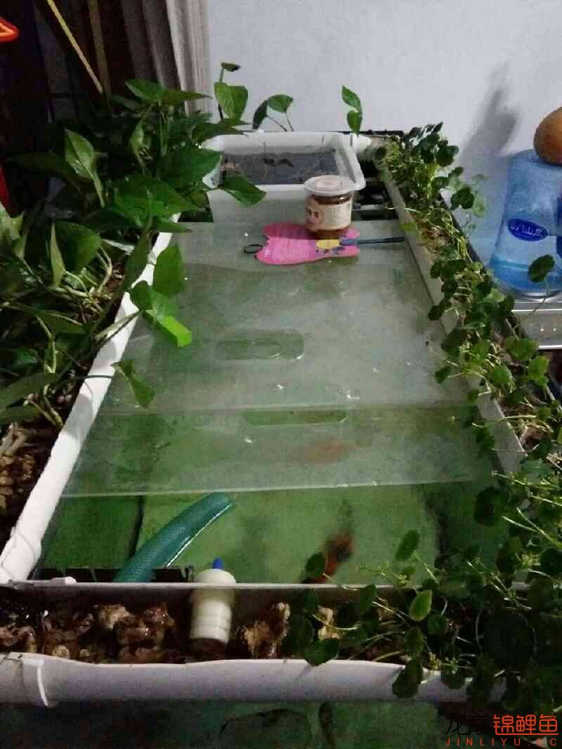 龙巅锦鲤鱼4周年庆+植物水道完工 西安观赏鱼信息 西安博特第4张