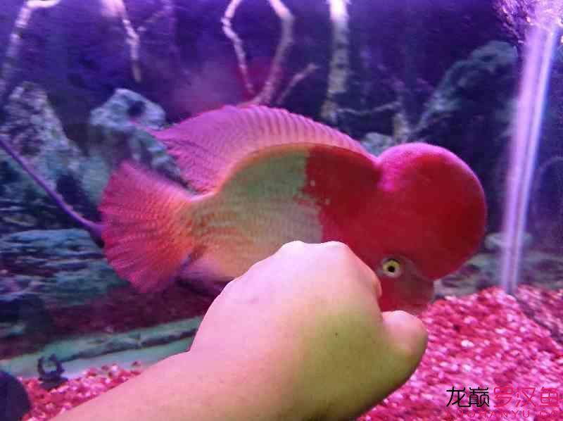 红魂 西安观赏鱼信息 西安博特第1张