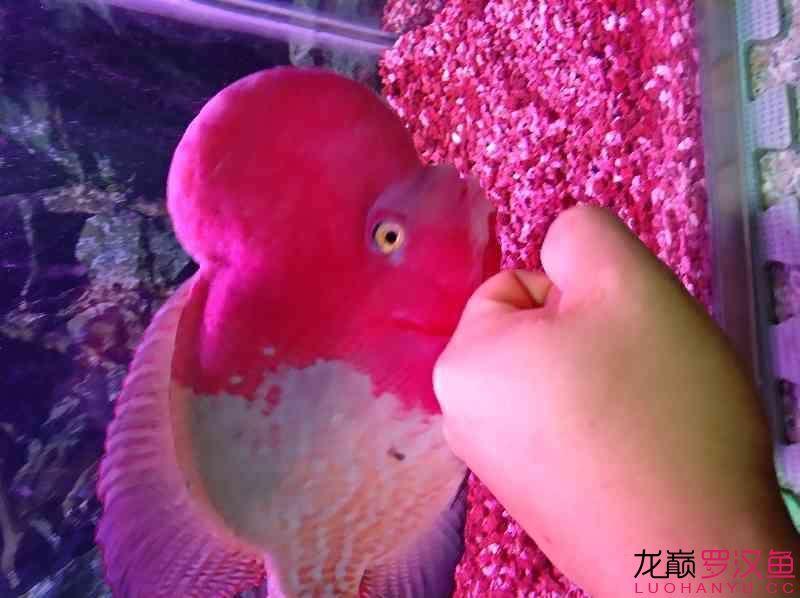 红魂 西安观赏鱼信息 西安博特第3张