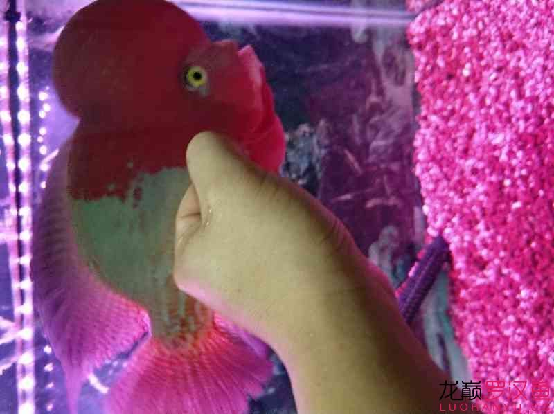 红魂 西安观赏鱼信息 西安博特第4张
