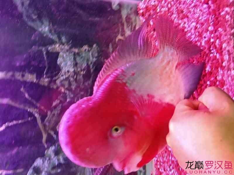 红魂 西安观赏鱼信息 西安博特第5张