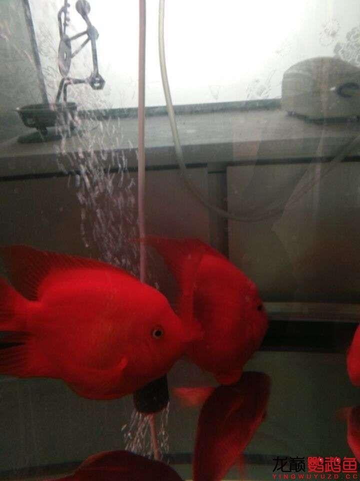 财神笑+小红 西安观赏鱼信息
