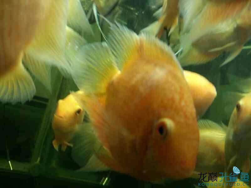 谁帮我看看我的豹点菠萝得啥病了 西安龙鱼论坛 西安博特第2张