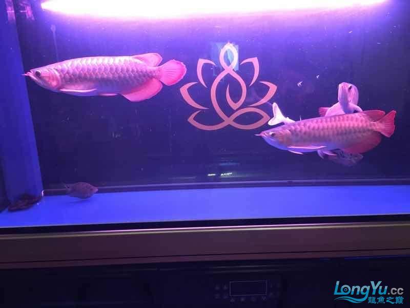 西安罗汉鱼饲料哪种好来一组红龙图终于和谐了 西安观赏鱼信息 西安博特第1张