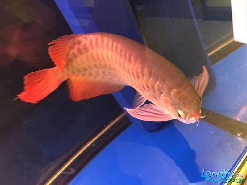 西安罗汉鱼饲料哪种好来一组红龙图终于和谐了 西安观赏鱼信息 西安博特第2张