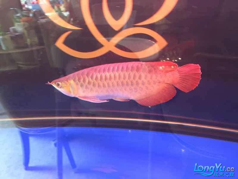 西安罗汉鱼饲料哪种好来一组红龙图终于和谐了 西安观赏鱼信息 西安博特第3张