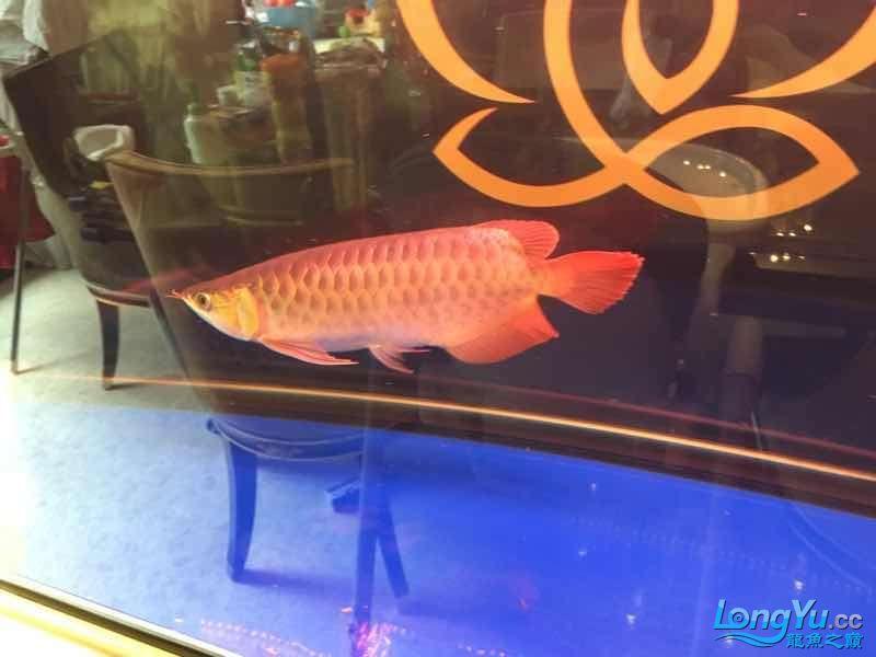西安罗汉鱼饲料哪种好来一组红龙图终于和谐了 西安观赏鱼信息 西安博特第5张