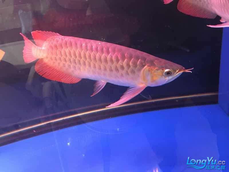 西安罗汉鱼饲料哪种好来一组红龙图终于和谐了 西安观赏鱼信息 西安博特第4张