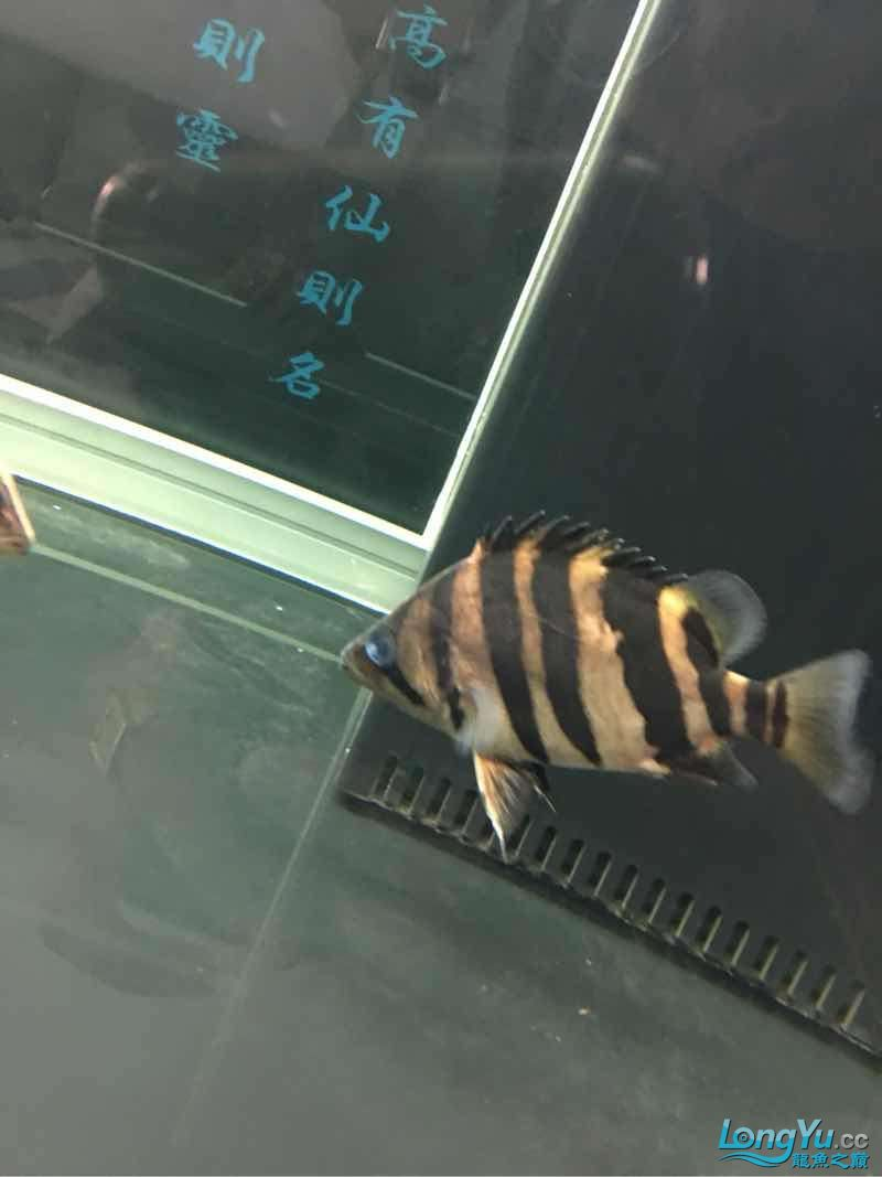 虎鱼蒙眼 西安观赏鱼信息 西安博特第2张