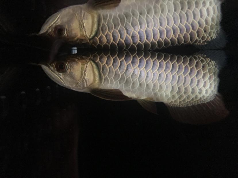 西安泰金罗汉鱼小龙到家 西安观赏鱼信息 西安博特第1张