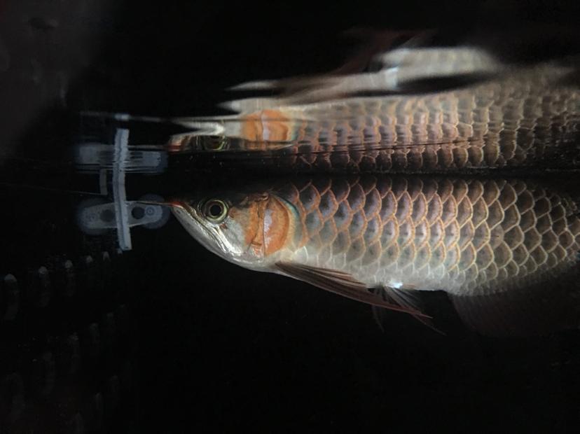 西安泰金罗汉鱼小龙到家 西安观赏鱼信息 西安博特第2张