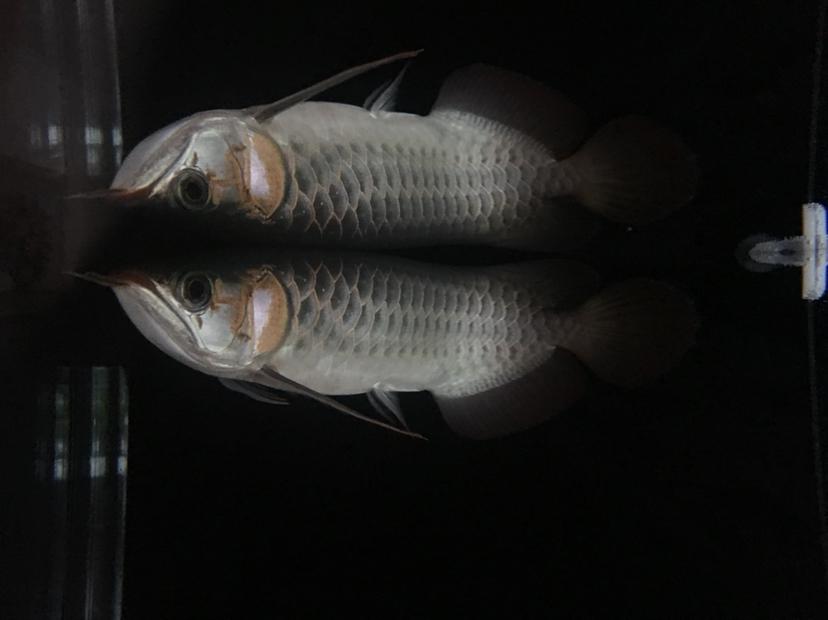 西安泰金罗汉鱼小龙到家 西安观赏鱼信息 西安博特第3张
