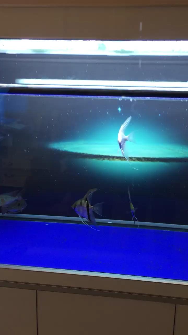 西安白化九角龙鱼批发市场喂鱼龙鱼【西安皇冠魟鱼】 西安龙鱼论坛