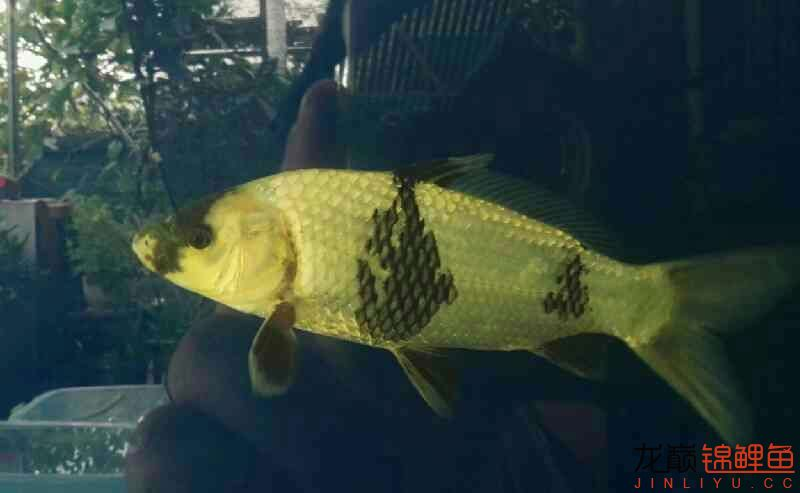 谁能猜到 西安龙鱼论坛 西安博特第1张