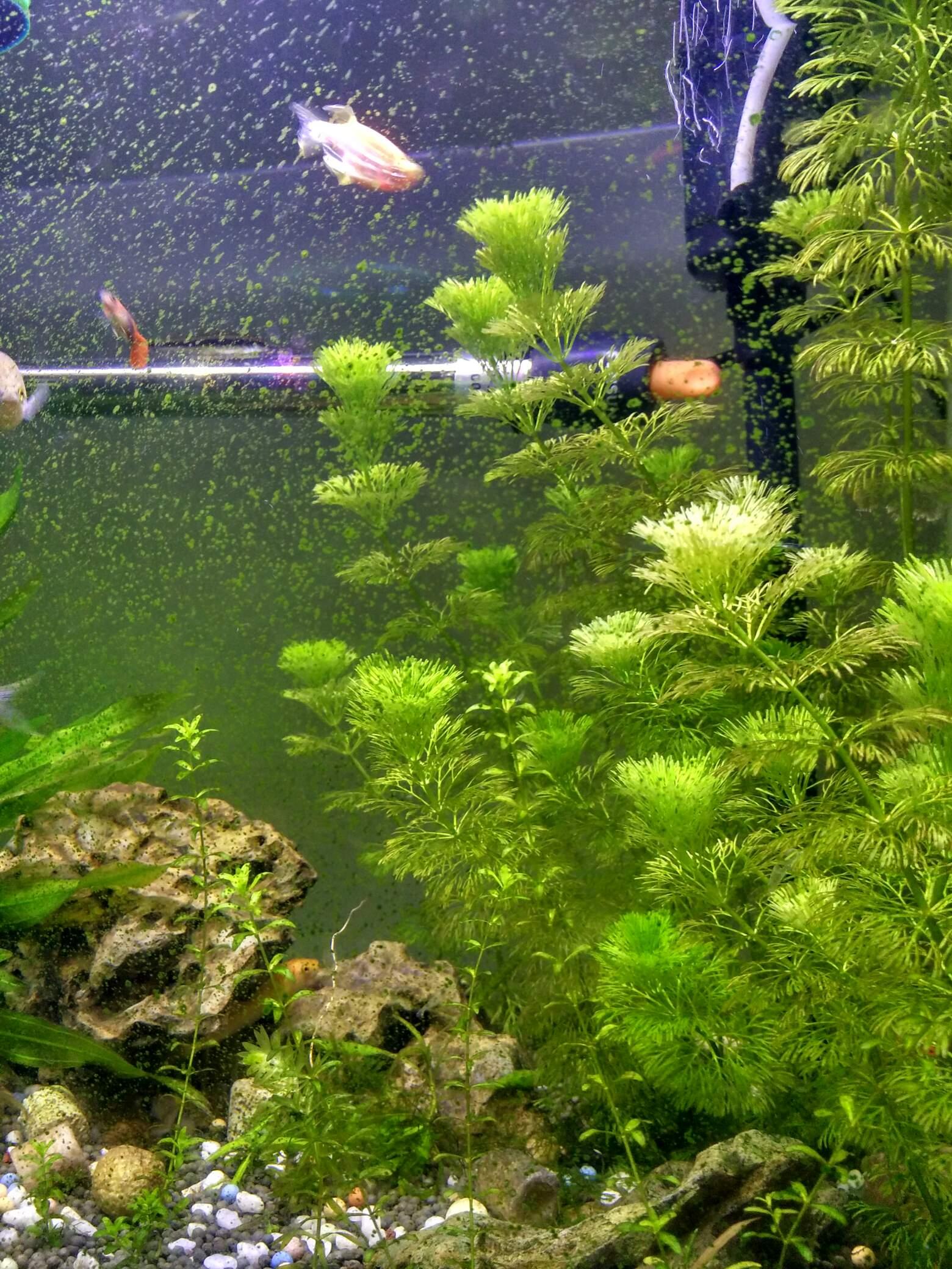 缸壁上的绿色青苔 西安观赏鱼信息 西安博特第1张