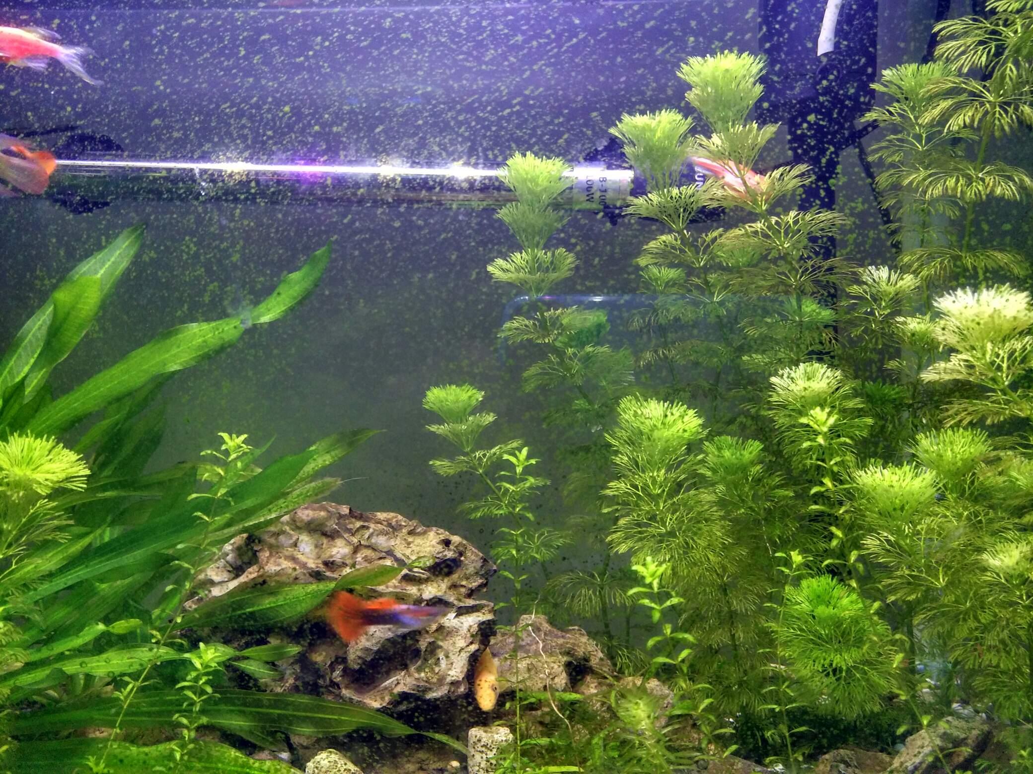 缸壁上的绿色青苔 西安观赏鱼信息 西安博特第2张