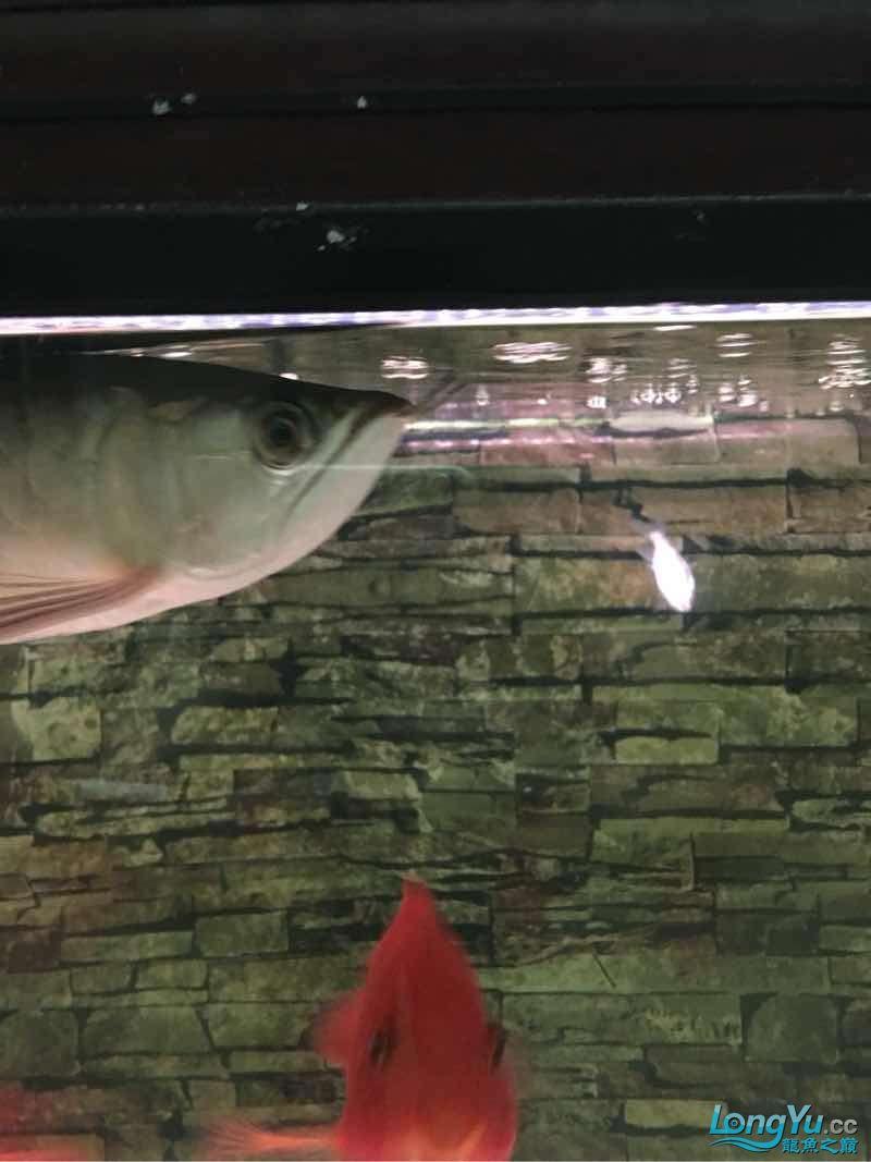 龙鱼已经饿了6天没吃鱼了 今天一样不吃 居然吃鹦鹉鱼的饲料【西安最大花鸟市场】 西安观赏鱼信息 西安博特第1张