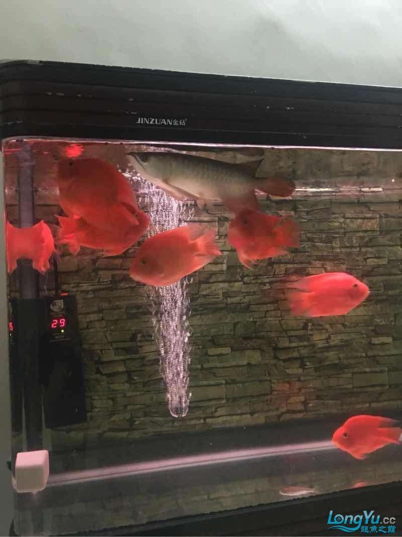 龙鱼已经饿了6天没吃鱼了 今天一样不吃 居然吃鹦鹉鱼的饲料【西安最大花鸟市场】 西安观赏鱼信息 西安博特第2张