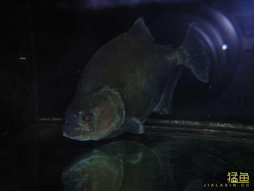 超大只 西安观赏鱼信息 西安博特第1张
