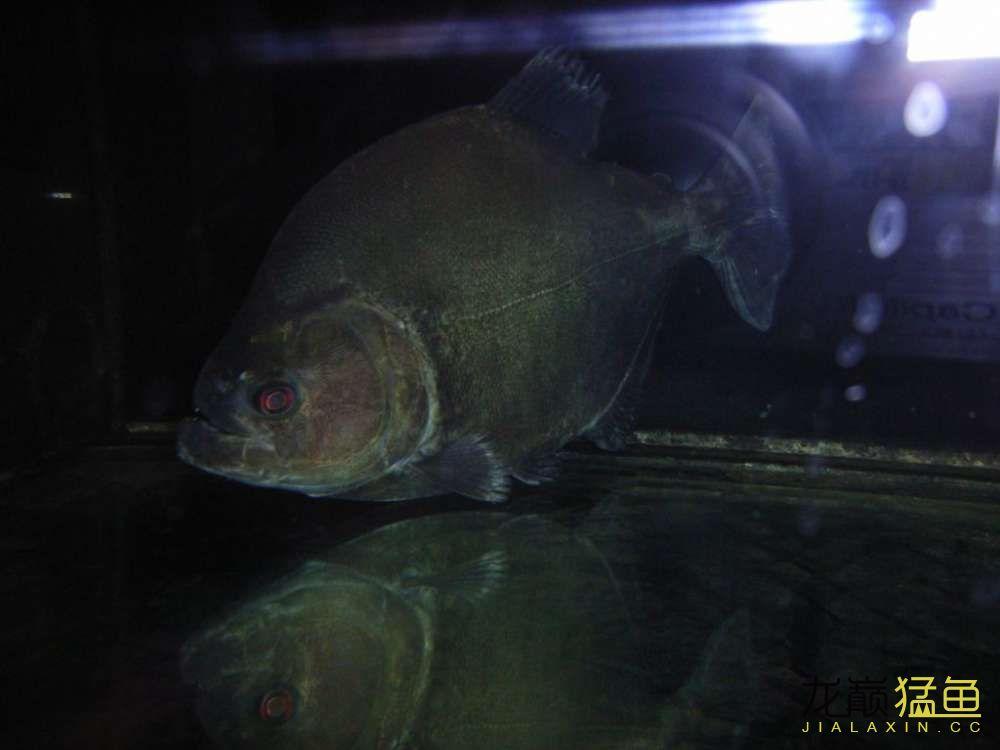 超大只 西安观赏鱼信息 西安博特第2张