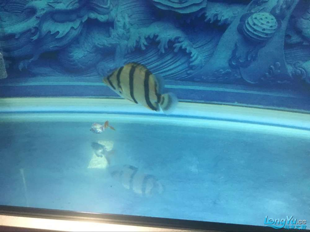 龙鱼1岁多啦 西安观赏鱼信息 西安博特第1张
