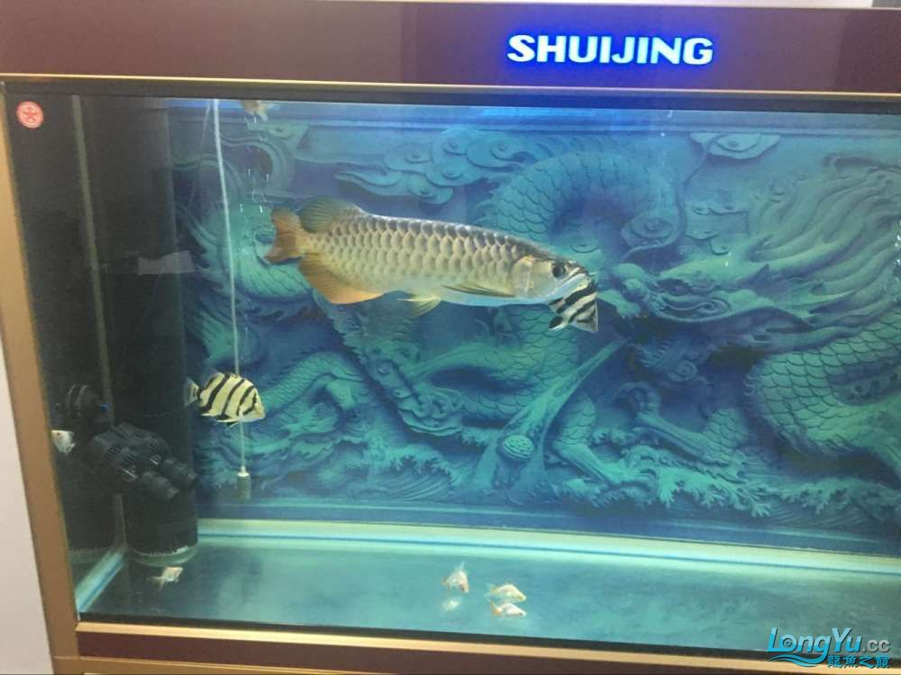 龙鱼1岁多啦 西安观赏鱼信息 西安博特第2张