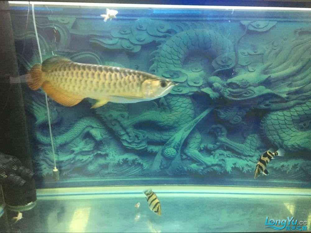 龙鱼1岁多啦 西安观赏鱼信息 西安博特第4张