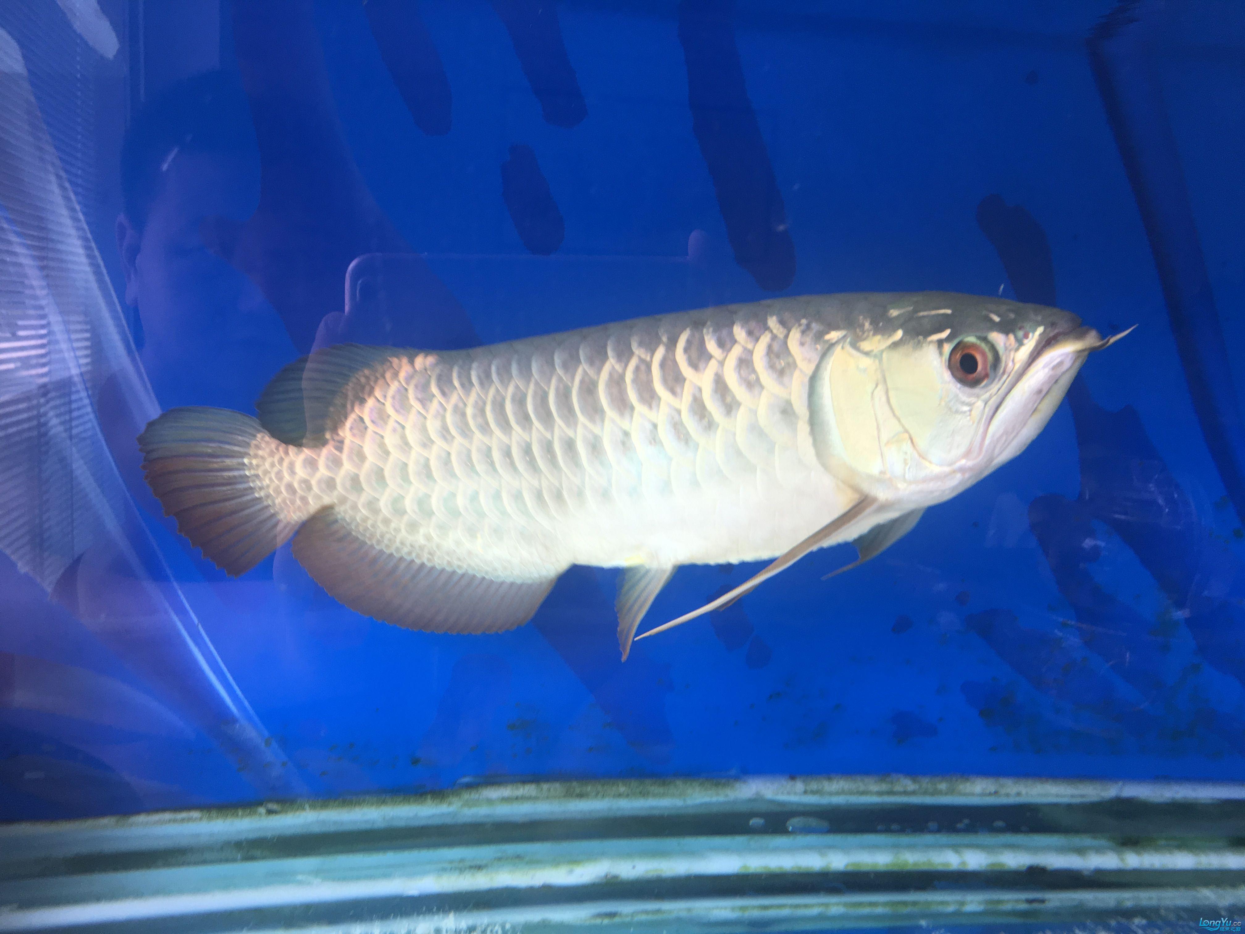 【西安鱼市场】小龙趴缸了 西安观赏鱼信息 西安博特第2张
