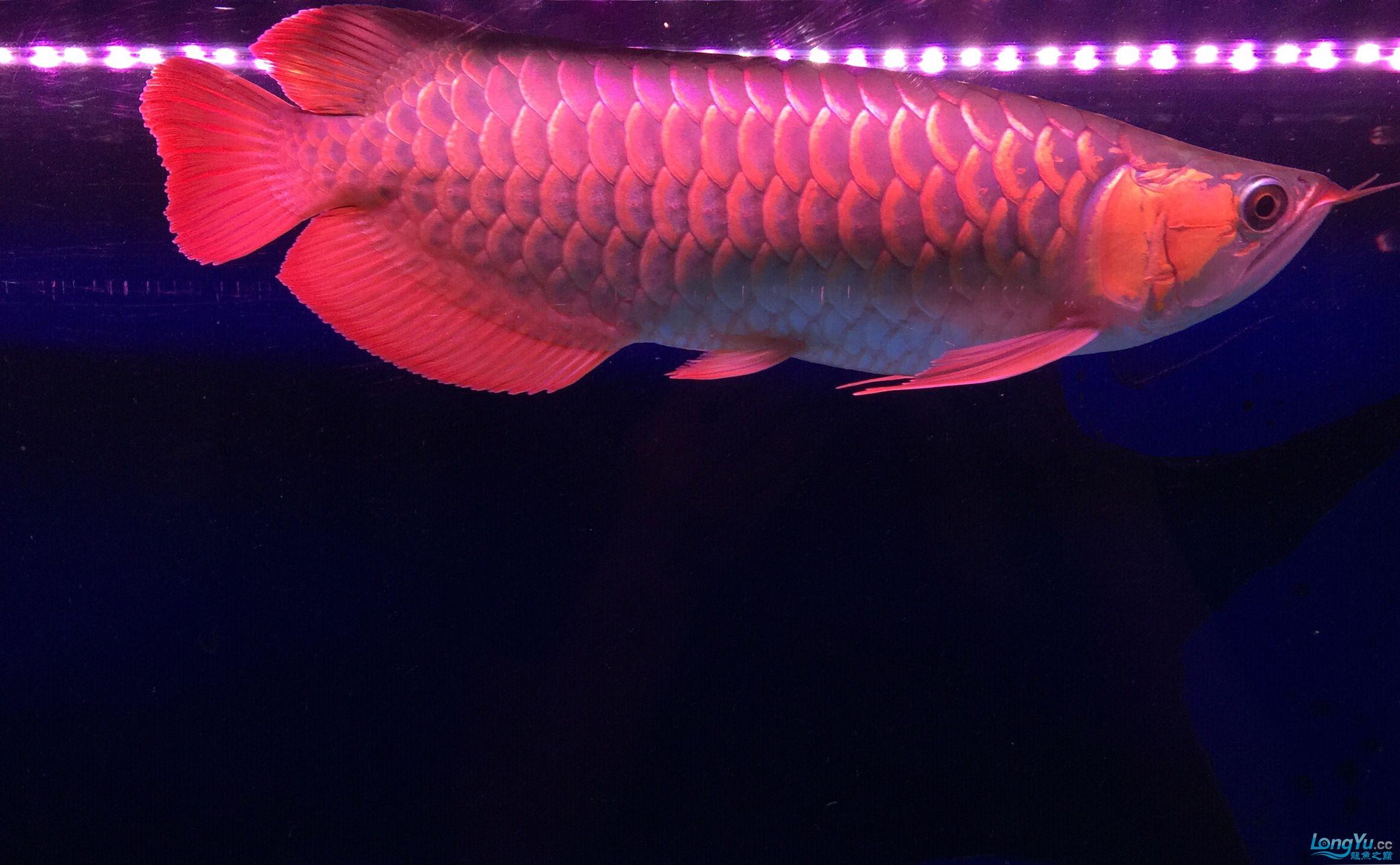 小红龙一年成长记力排众将 西安观赏鱼信息 西安博特第1张