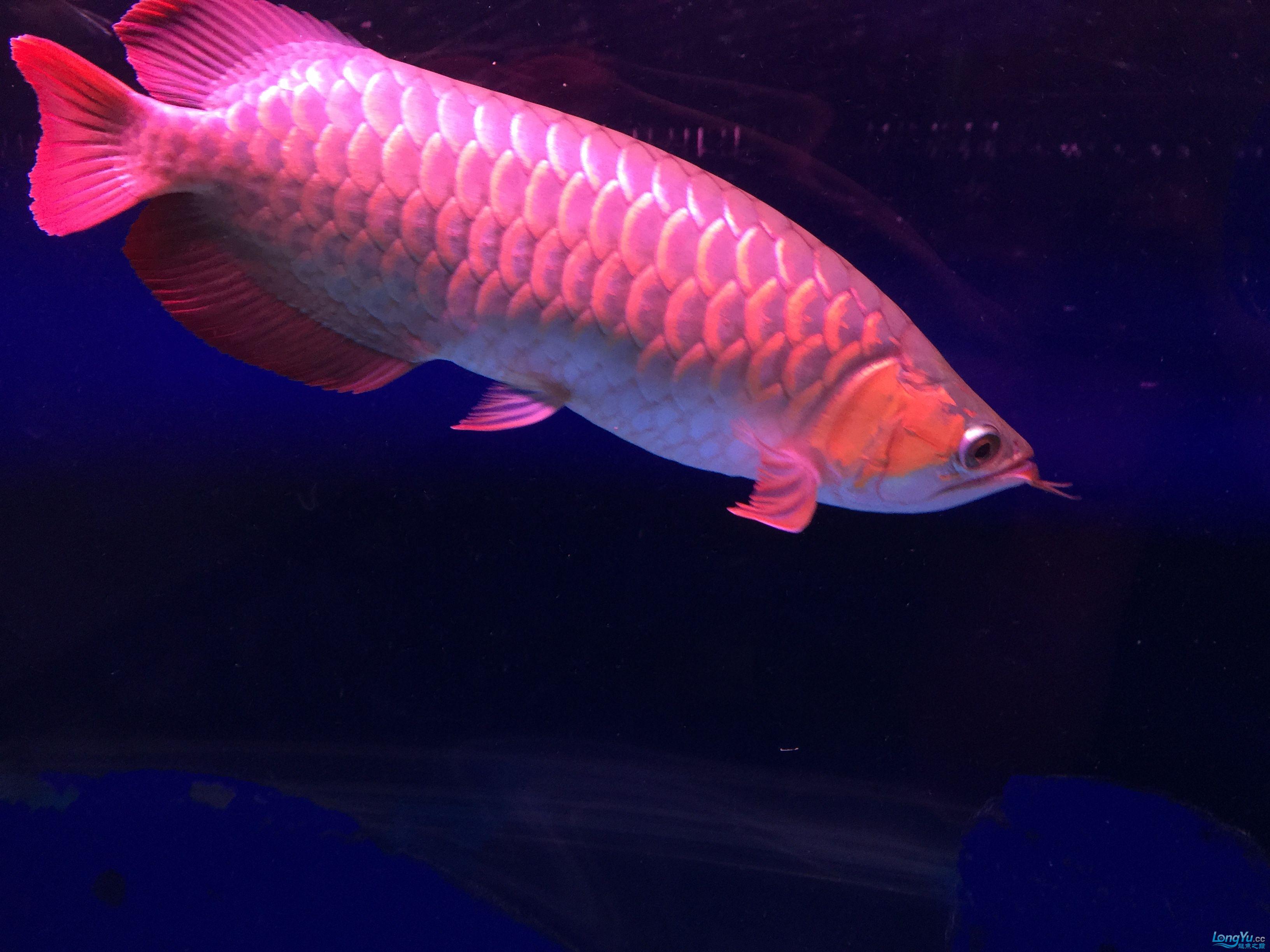 小红龙一年成长记力排众将 西安观赏鱼信息 西安博特第5张