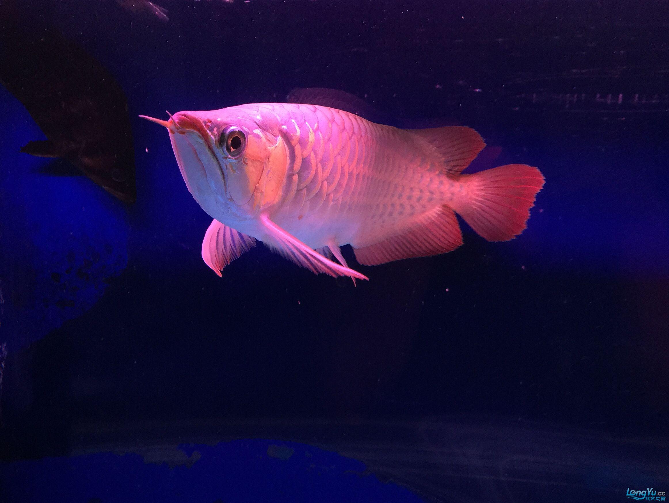 小红龙一年成长记力排众将 西安观赏鱼信息 西安博特第7张