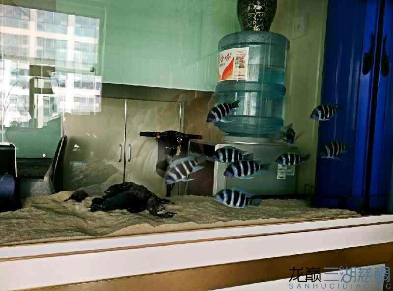 【西安泰金罗汉鱼专卖】萨伊入缸20小时纪念 西安观赏鱼信息 西安博特第1张