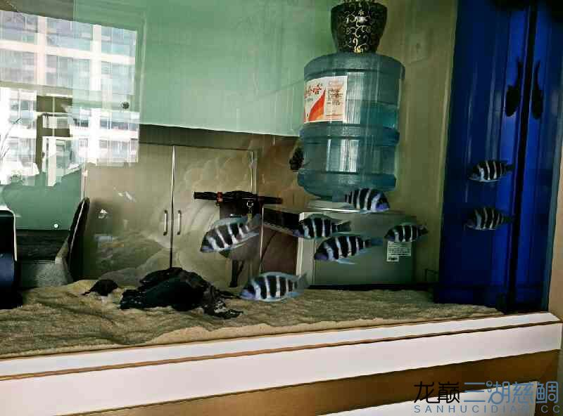 【西安泰金罗汉鱼专卖】萨伊入缸20小时纪念 西安观赏鱼信息 西安博特第2张
